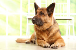 German shephard dog laying. German shepherd dog looking aside and laying on the floor in home waiting for her owner, with sunny window in the background Stock Photo