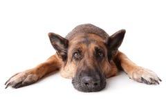 German shephard dog laying. German shepherd dog laying on white background Royalty Free Stock Photo