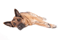 German shephard dog laying Stock Photos