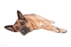 German shephard dog laying. On white background Stock Photos