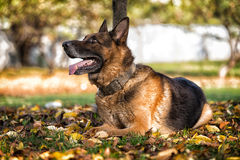 German Shephard Dog Laying. Dog German Shepherd Looking Towards The Camera. The Photo Has An Extremley Shallow Depth Of Field Stock Images