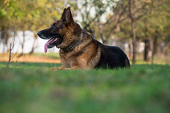 German Shephard Dog Laying. Dog German Shepherd Playing Around. The Photo Has An Extremley Shallow Depth Of Field Stock Images