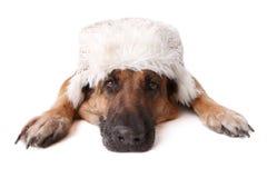 German shephard dog wearing hat. German shepherd dog wearing winter hat laying on white background Royalty Free Stock Image