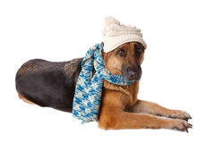 German shephard dog wearing hat and scarf. German shephard dog wearing winter hat and scarf isolated over white background Royalty Free Stock Image
