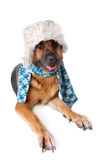 German shephard dog wearing hat and scarf. German shephard dog wearing winter hat and scarf isolated over white background Stock Images