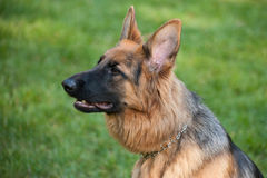 German Shephard Stock Photography