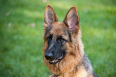 German Shephard Royalty Free Stock Photos