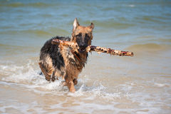 German Shephard Stock Photo