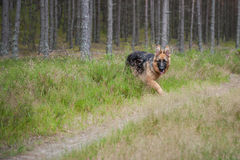 German Shephard Stock Photos