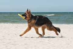 German Shephard. 6-month-old German Shephard puppy playing on the beach Stock Images