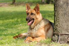 German  shephard (shepherd) dog portrait. In the garden Royalty Free Stock Photo