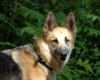 German Shepherd. A German shepherd dog, staring at you royalty free stock photography