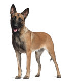 German Shepherd, 1 year old, standing Stock Photo