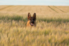 German Shepherd. Running in the wheat Stock Photography