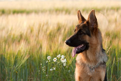German Shepherd. In front of wheat field and flowers Stock Images