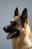 German Shepherd Stock Images