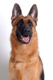 German Shepherd. On a white background royalty free stock photo
