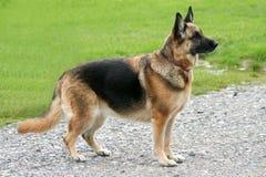 German Shepherd Royalty Free Stock Image