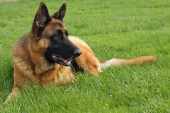 German Shepherd. Big Male Laying In Grass Royalty Free Stock Images
