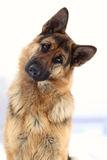 German shepherd. The dog a German shepherd attentively listens royalty free stock image