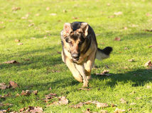 German shepherd. Dog laying in the grass stock image