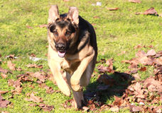 German shepherd. Dog laying in the grass royalty free stock images
