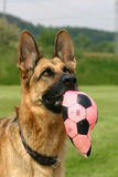 German shepherd. Portrait of a lovely German shepherd lady holding her toy stock image