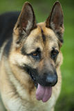 German shepherd Royalty Free Stock Image