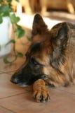 German shepherd Royalty Free Stock Photos