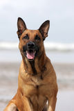 German shepherd. On the beach Royalty Free Stock Images
