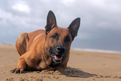 German shepherd. On the beach Stock Photos