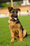 German Shepherd Royalty Free Stock Images