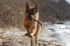 German Shepherd. Playing by the lake Royalty Free Stock Photography
