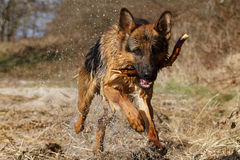 German Shepherd. Playing by the lake Stock Photography