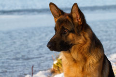 German Shepherd. By the lake in th whinter Royalty Free Stock Image