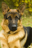 German Shepherd. In the garden Stock Photography