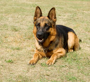 German shepherd. Portrait of purebred german shepherd, beautiful young female Royalty Free Stock Image