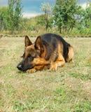 German shepherd. Portrait of purebred german shepherd Stock Photo