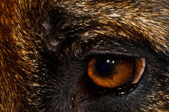 German Shepherd. A German Shepherds eye close up Stock Image