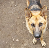 German shepherd. Looking at camera Stock Image