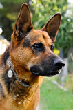 German shepherd. Focus on one eye of a Royalty Free Stock Photography