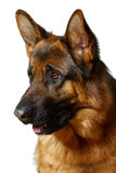 German Shepherd. Isolatet white background Royalty Free Stock Photos