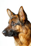 German Shepherd. Isolatet white background Royalty Free Stock Images