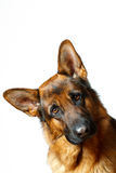 German Shepherd. Isolatet white background Stock Image