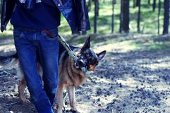 German Shepherd. Playing with a man Stock Photo
