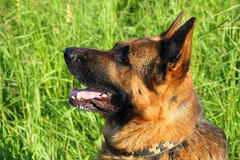 German shepherd. On green grass stock images