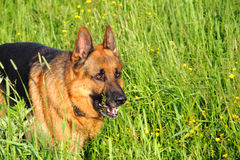 German shepherd. Against the background of grass stock images