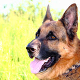 German shepherd. Against the background of grass stock photos