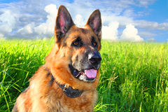 German shepherd. On a background of green grass and the sky royalty free stock photos