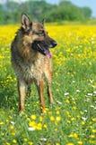 German Shepherd Stock Photos